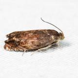 3471 – Hickory Shuckworm Moth – Cydia caryana 7.2.27