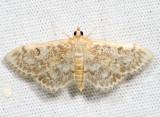 4954 - Quebec Phlyctaenia - Anania quebecensis