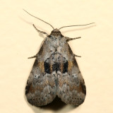 9040 - Black-patched Graylet - Hyperstrotia secta 7.3.7