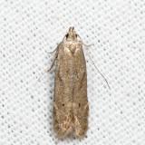 Monochroa sp. 7.3.8