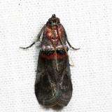 5691 – Sweetfern Leaf Casebearer Moth – Acrobasis comptoniella  7.3.15