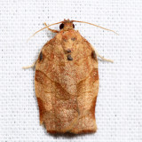 3635 – Oblique-banded Leafroller Moth – Choristoneura rosaceana 7.3.17