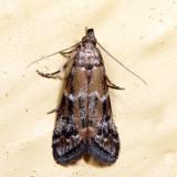 6011 – Brower's Vitula Moth – Vitula broweri 7.3.19