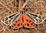 8197 - Virgin Tiger - Grammia virgo