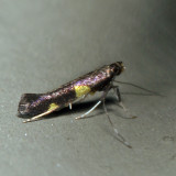 0600 – Caloptilia cornusella 7.4.8