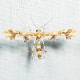 6091 – Grape Plume Moth – Geina periscelidactylus *