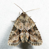 9408 – Exhausted Brocade – Neoligia exhausta 7.4.21