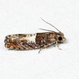 3310 - Walker's Epinotia - Epinotia transmissana 7.4.25