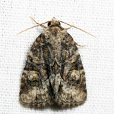 9408 - Exhausted Brocade - Neoligia exhausta 7.4.28