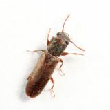 Velvety Powderpost Beetle - Trogoxylon parallelipipedum