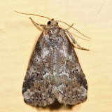 9038 - White-lined Graylet - Hyperstrotia villificans 7.5.8