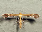 6102 – Dejongia lobidactylus *