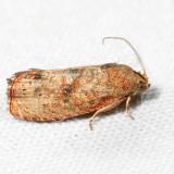 3494 – Filbertworm Moth – Cydia latiferreana *