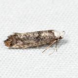 2413 – Gray-blue Swammerdamia - Swammerdamia caesiella *