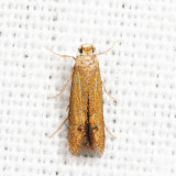0144 – Oak Blotch Miner – Tischeria quercitella *