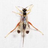 Spilopteron occiputale