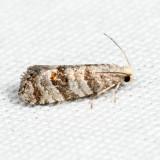 3446 – Corticivora clarki *