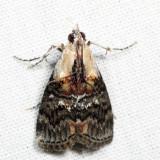 5608 – Striped Oak Webworm Moth – Pococera expandens  7.7.21