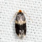 0037 – Hard Maple Budminer Moth – Ectoedemia ochrefasciella 7.7.23