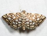 5250 – Bog Lygropia – Lygropia rivulalis