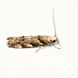 Coleotechnites sp. 7.8.5