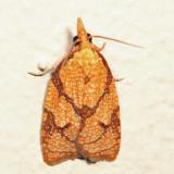 3720 – Reticulated Fruitworm Moth – Cenopis reticulatana *