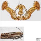 2916 - Beautiful Phaneta Moth - Eucosma formosana