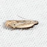 1707 - Monochroa angustipennella 7.10.14