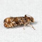 2718 - Paralobesia spiraeifoliana *