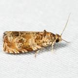 2778 - Olivaceous Olethreutes - Olethreutes olivaceana *
