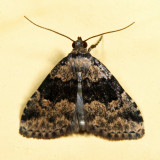 8426 - Visitation Moth - Dyspyralis illocata *