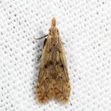 2288 - Many-spotted Dichomeris - Dichomeris punctipennella 7.11.25