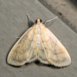 4945 - Pale-winged Crocidiphora - Crocidophora tuberculalis *