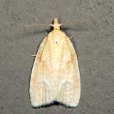 3725 – Maple-basswood Leafroller – Cenopis pettitana *