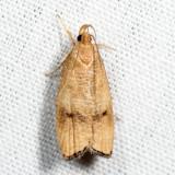 0956 – Black-fringed Leaftier – Psilocorsis cryptolechiella *