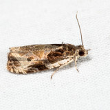 2787 – Bunchberry Leaffolder – Olethreutes connectum *