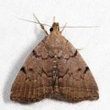 8349.1 – Zanclognatha dentata *