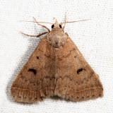 8370 - Bent-winged Owlet - Bleptina caradrinalis *