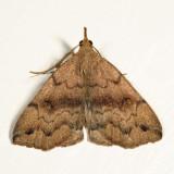 8364 - Black-banded Owlet - Phalaenostola larentioides *