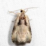 2786 - Olethreutes punctanum *