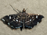Diathrausta sp. *