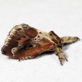 4685 - Purple-crested Slug Moth - Adoneta spinuloides