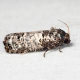 3192 - Gray-blotched Epiblema - Epiblema carolinana *