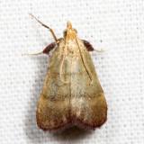 5571 - Drab Condylolomia - Condylolomia participalis *