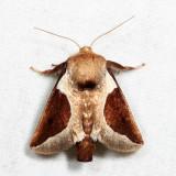 4671 - Skiff Moth - Prolimacodes badia