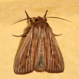 10447 - Leucania commoides 7.15.2