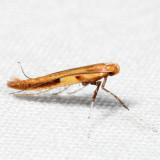 Caloptilia  sp. *