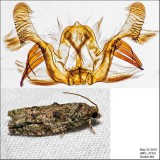 3230 - Maple Twig Borer - Proteoteras aesculana