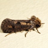 0373 - Clemens' Grass Tubeworm Moth - Acrolophus popeanella *