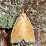 5298.1 - Sclerocona acutellus